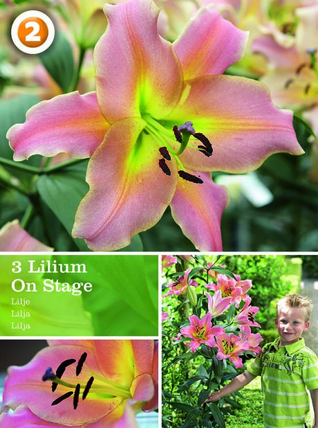 Lilium Three Lilium On Stage, Rosa