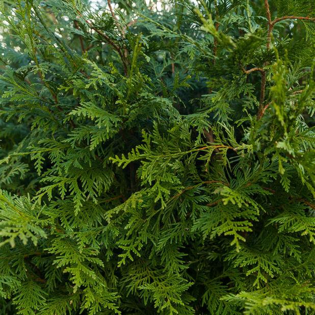 Tuja 'Brabant', Høyde 80-100 cm, Grønn