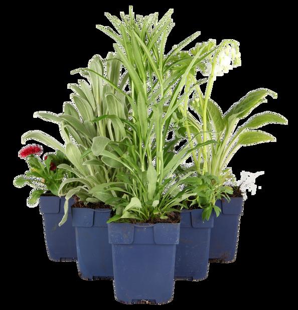 Alpeedelweiss, Høyde 15 cm, Hvit