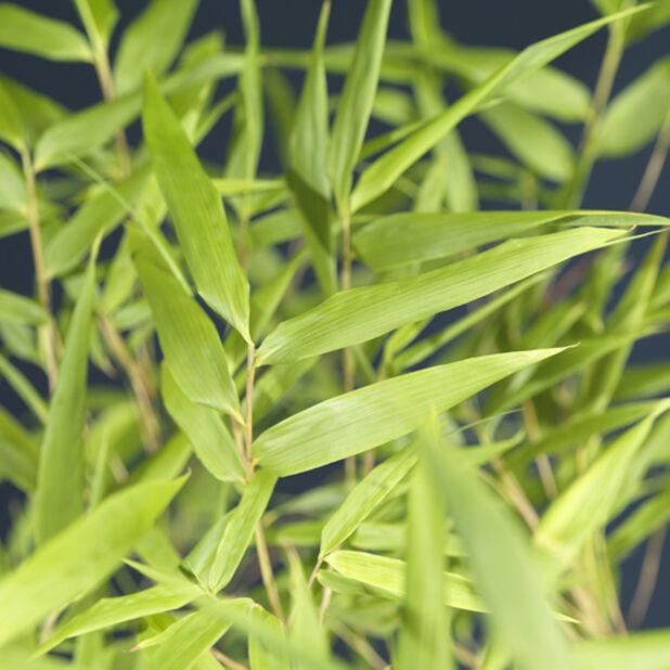 Gullrørbambus 'Rufa', Høyde 80 cm, Grønn