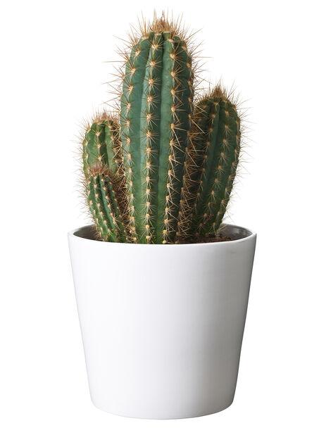 Cactus boll varieties 14 cm