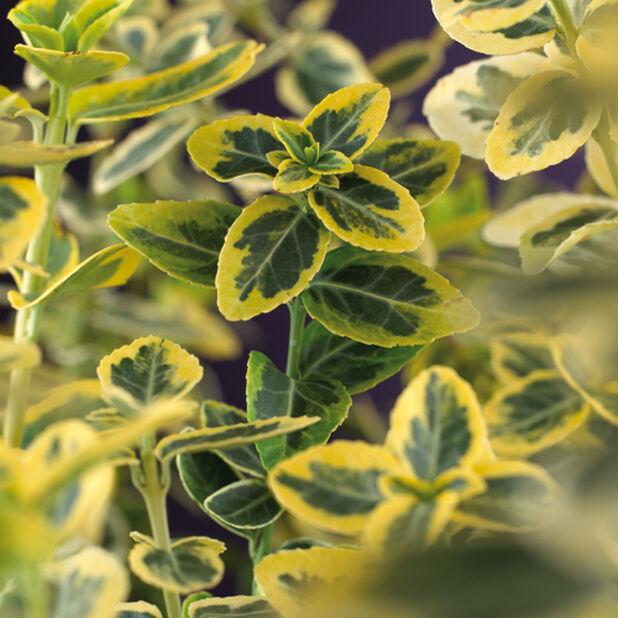 Klatrebeinved 'Emerald'n Gold', Høyde 35 cm, Grønn