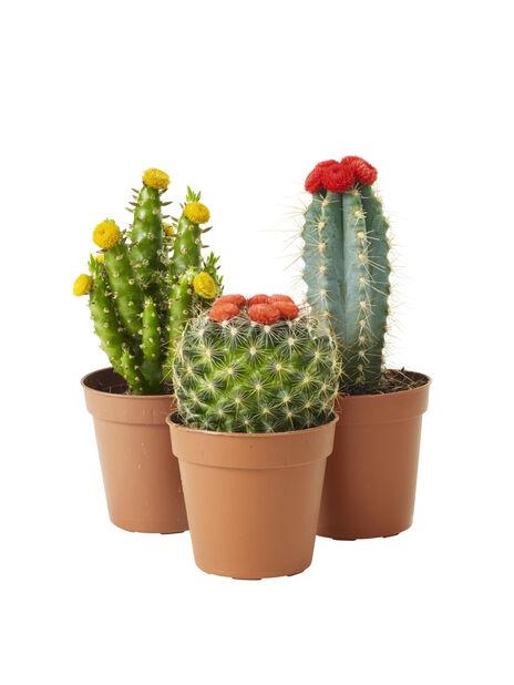 Kaktus miks 6 cm