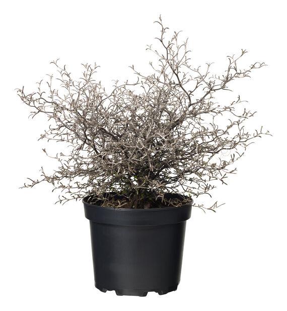 Corokia cotoneaster 17 cm
