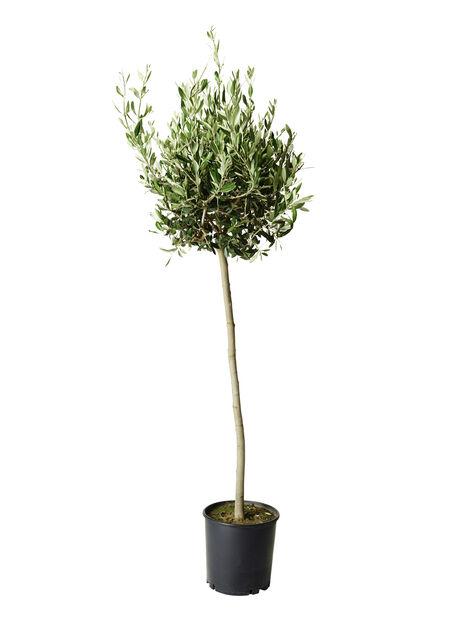 Oliventre, Ø32 cm, Grå