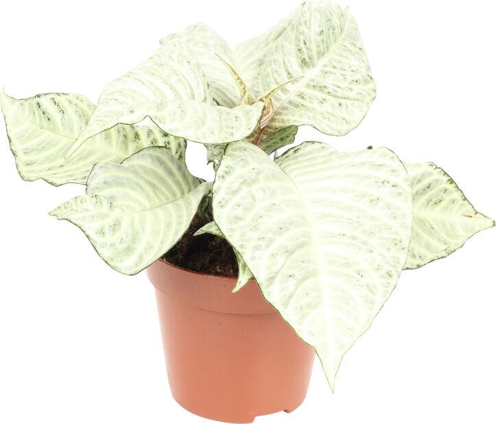 Aphelandra 'White Wash', Høyde 35 cm, Grønn