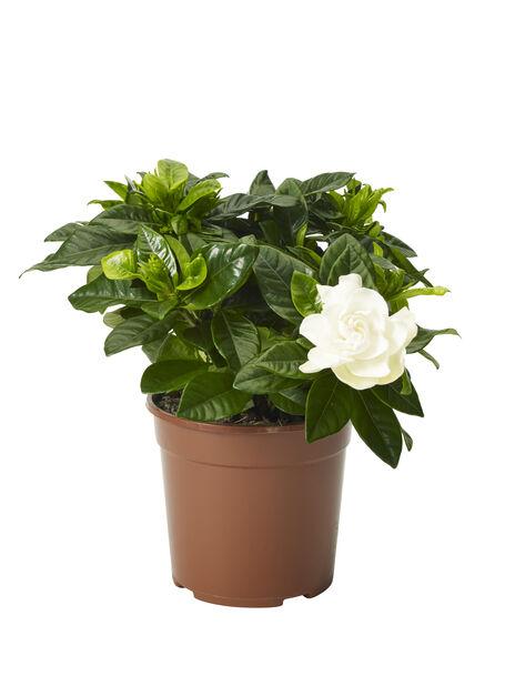 Gardenia jasminoides 13 cm