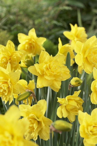 Narcissus 'Golden Ducat', Flere farger