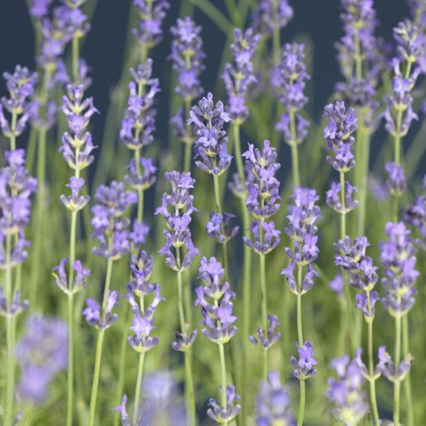 Lavendel 'Felice', Ø10.5 cm, Blå