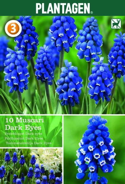 Muscari 'Dark Eyes', Lilla