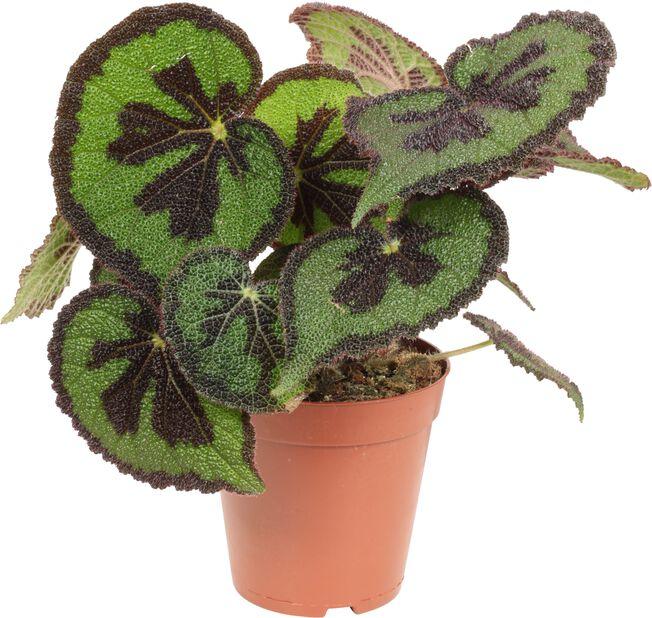 Begonia, Høyde 30 cm, Grønn