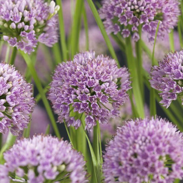 Allium, Ø17 cm, Lilla