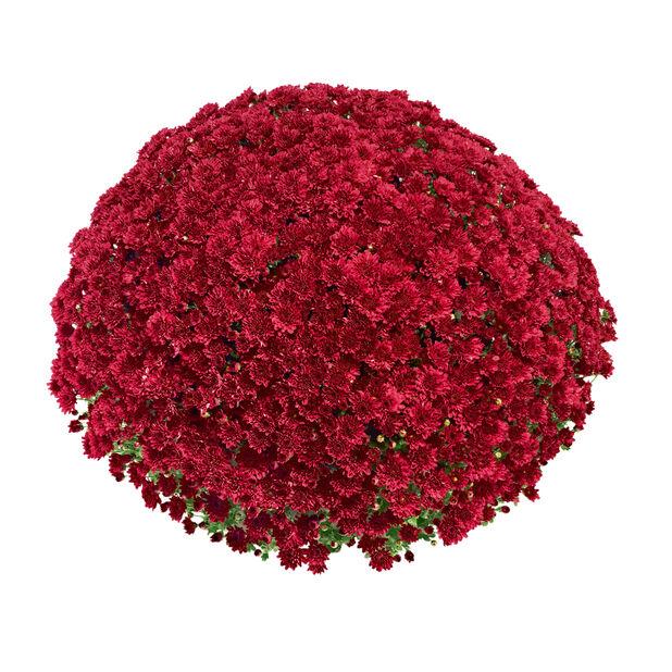 Frilandskrysantemum, Ø19 cm, Rød