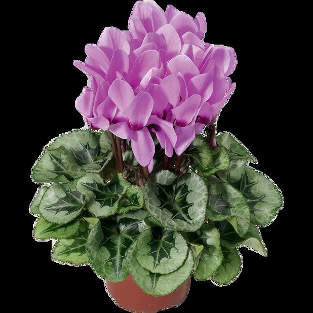 Alpefiol 'Silver Lavender', Ø12 cm, Lilla