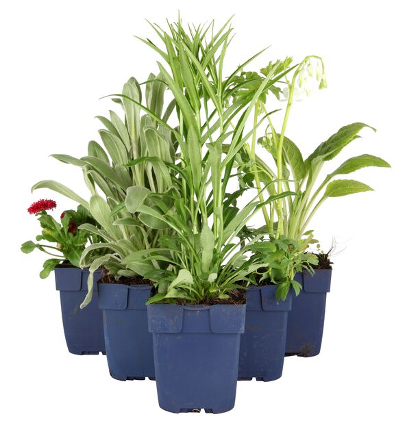 Bladlilje, Ø11 cm, Grønn