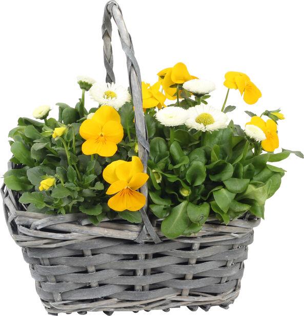 Blomstergruppe stemorsblomst og tusenfryd, Høyde 25 cm, Flere farger