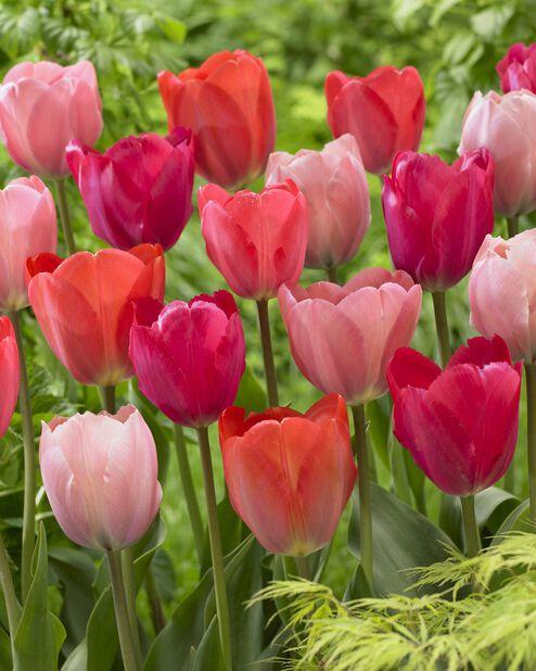 Tulipanmiks Pink Promise, Rosa