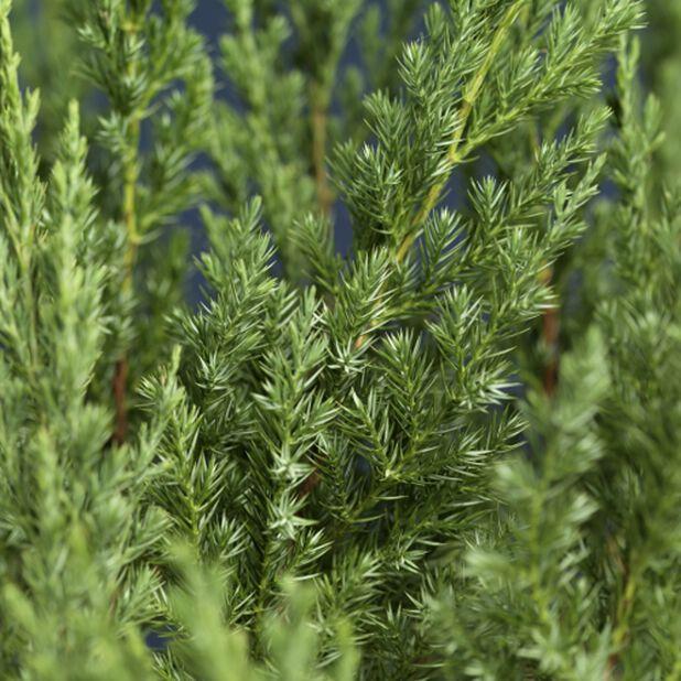 Kinaeiner 'Stricta, Høyde 40-50 cm, Blå
