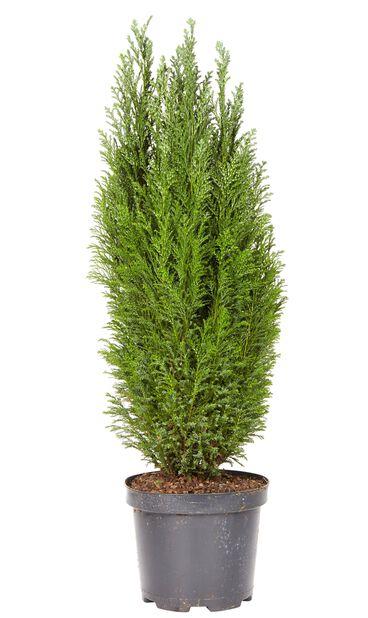 Lawsonsypress 'Ellwoodii', höjd 70-80cm