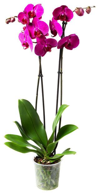 Orkidé, Ø12 cm, Lilla