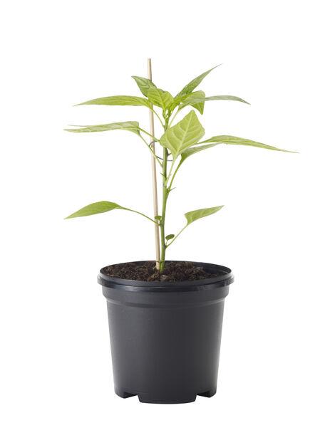Capsicum Chili 'Pimento de padrón' 11,5 cm