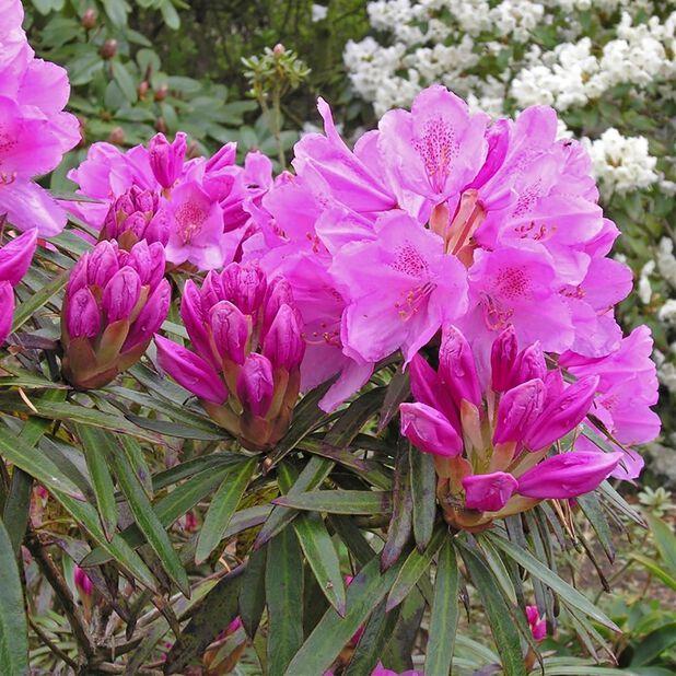 Rododendron 'Graziella', Ø35 cm, Rosa