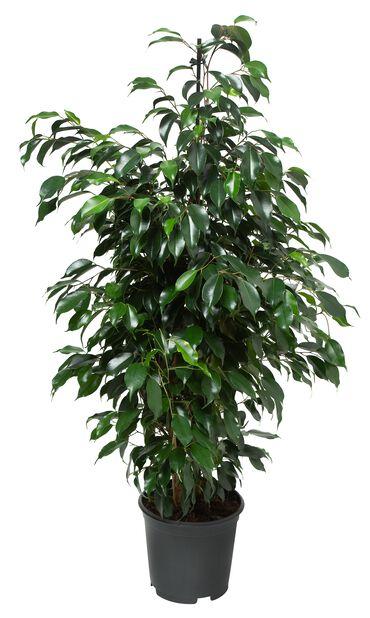 Bjørkefiken 'Danielle', Høyde 115 cm, Grønn