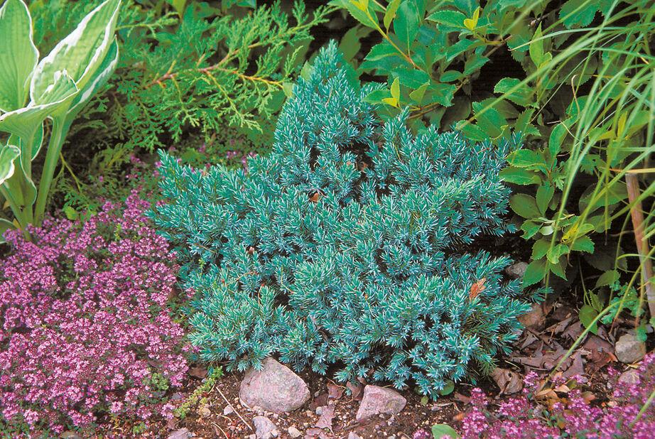 Himalayaeiner 'Blue Star', Høyde 15-20 cm, Blå