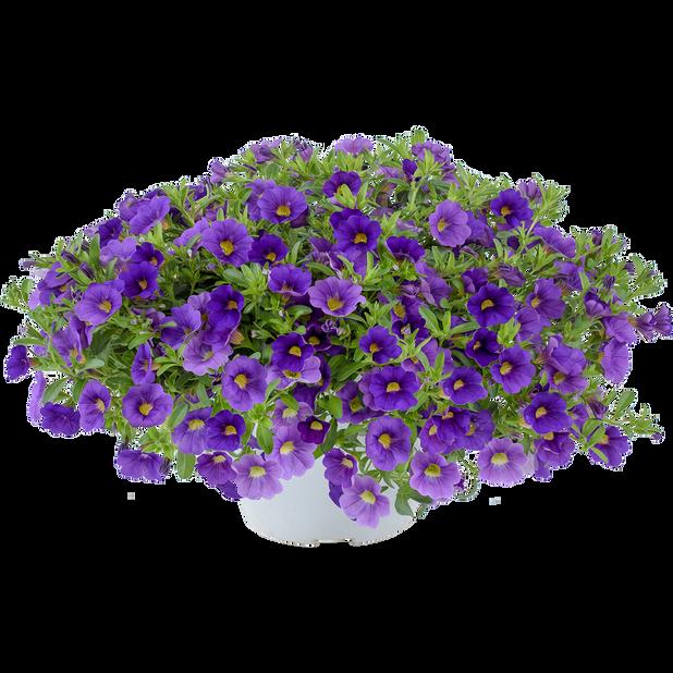 Petunia, Ø12 cm, Blå