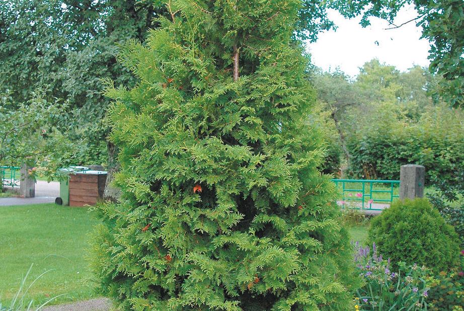 Tuja 'Brabant' 80-100 cm , 5L