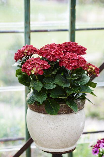 Hortensia, Ø21 cm, Rød