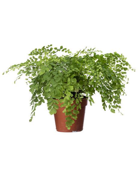 Venushår , Høyde 25 cm, Grønn