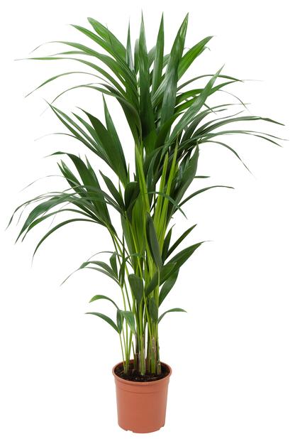 Kentiapalme, Høyde 100 cm, Grønn