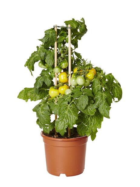 Cherrytomat  , Ø14 cm, Gul