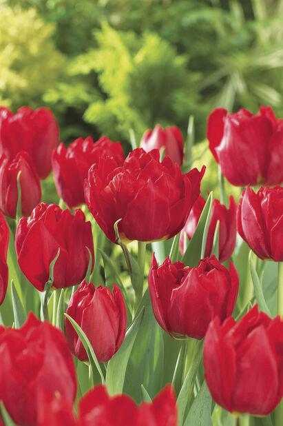 Tulipan 'Abba', Flere farger