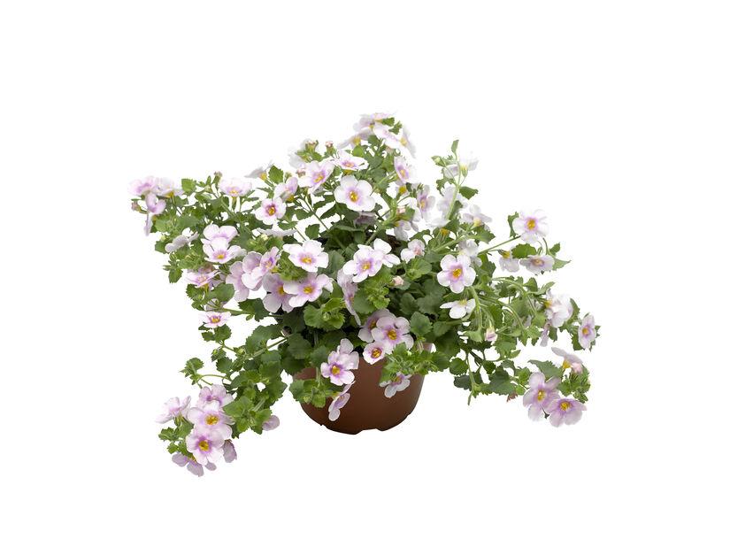 Bacopa i 12 cm Rosa