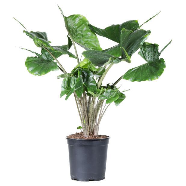 Alocasia 'Stingray', Høyde 60 cm, Grønn