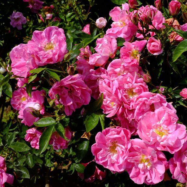 Klatrerose 'William Baffin', Ø19 cm, Rosa