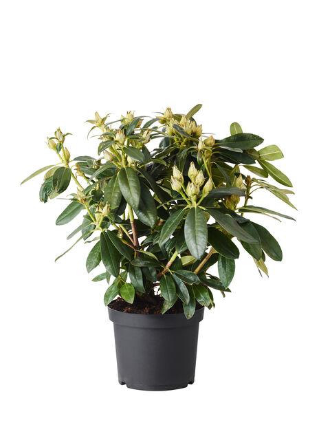Rododendron 'Percy Wiseman', Ø30 cm, Rosa