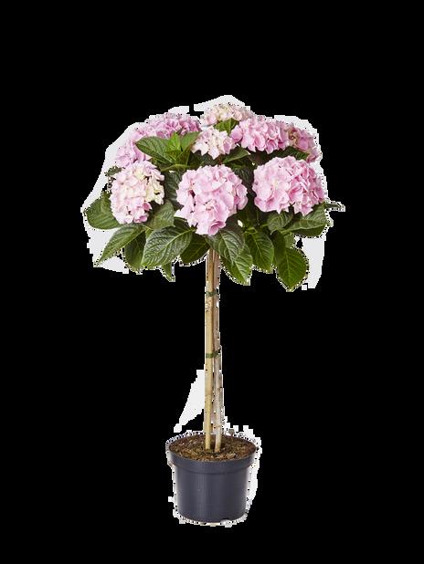 Hagehortensia oppstammet, Høyde 85 cm, Rosa