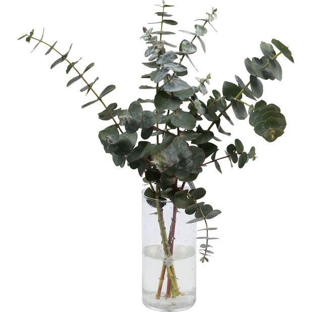Eukalyptus 5pk, Høyde 50 cm, Grønn