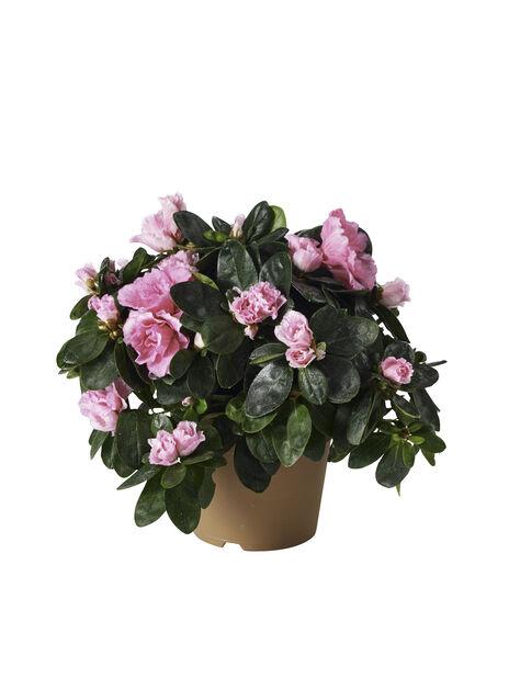 Azalia 12cm Rosa