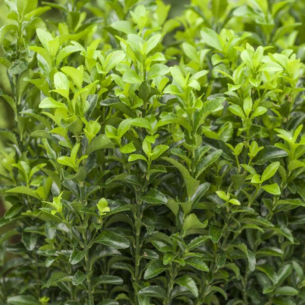 Japanbeinved 'Green Spire', 6 pk, Grønn