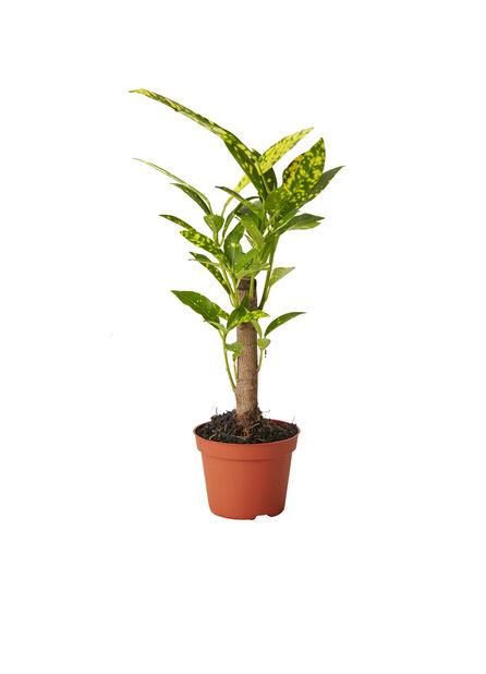 Mini Grønnplanter , Høyde 10 cm, Grønn