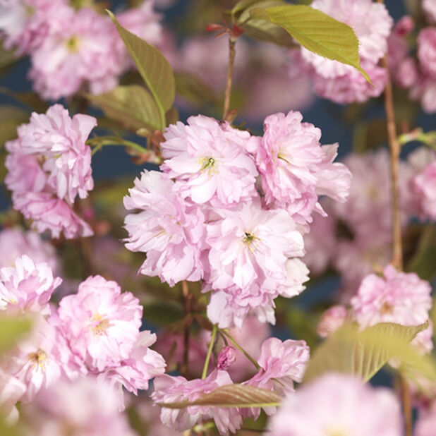 Japankirsebær 'Kanzan', Høyde 125 cm, Rosa