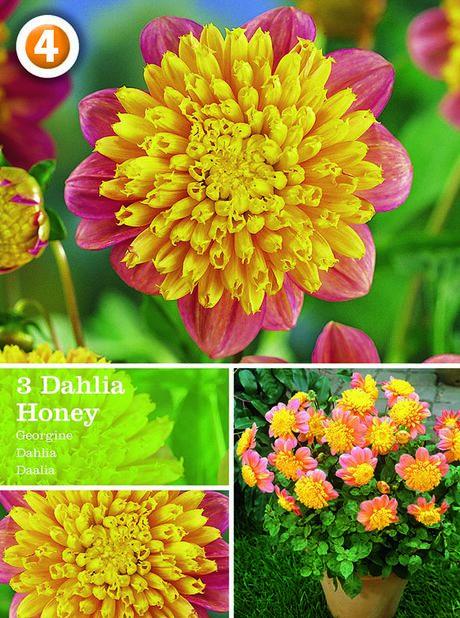 Dahlia Anemone Flowered Honey, Rød