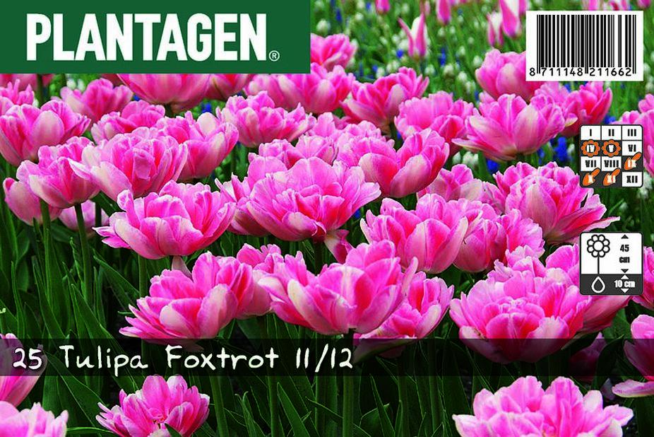 Tulipan 'Foxtrot'