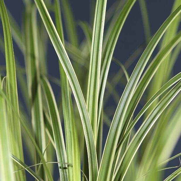 Japanstarr, Høyde 50 cm, Grønn