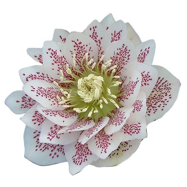 Vinterrose, Ø15 cm, Flere farger