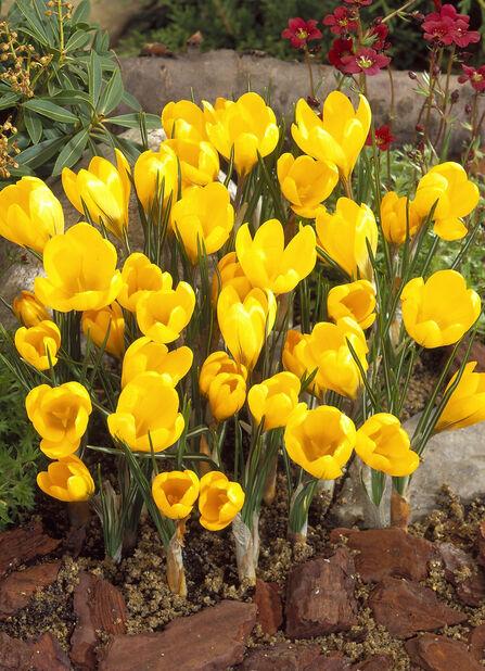 Krokus 'Yellow'